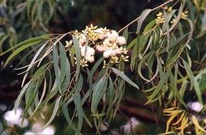 """Kì lạ loài cây có khả năng """"đẻ"""" ra vàng"""