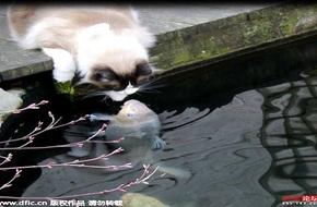 Chuyện lạ chưa từng thấy: mèo và cá hôn nhau mỗi ngày