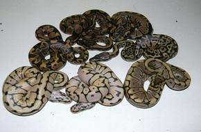 Người đàn ông Mỹ chết bí ẩn cùng 70 con rắn trong nhà
