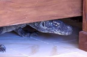 Lạnh gáy phát hiện rồng Komodo trong nhà tắm