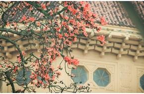 Xao xuyến hoa gạo đỏ rực góc hồ Gươm sau cơn mưa nồng nàn đầu hạ