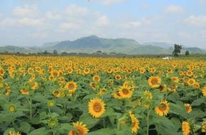 Về Nghệ An ngắm cánh đồng hoa hướng dương khoe sắc