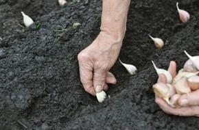 Đừng bao giờ mua tỏi nữa, bởi bạn có thể tự trồng ở nhà đơn giản như thế này cơ mà