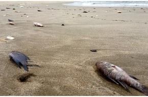 Quảng Bình: Bé 8 tuổi bị ngộ độc nghi do ăn cá chết