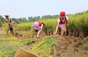 Nữ tiếp viên hàng không TQ đi giày cao gót gặt lúa