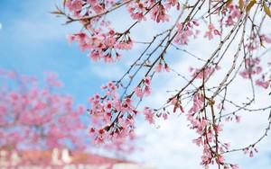 Đà Lạt đẹp như bản tình ca trong mùa mai anh đào nở rộ