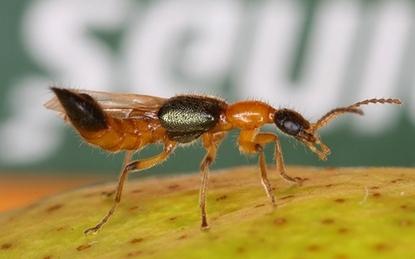 Mùa này nhà nào cũng có kiến ba khoang độc hơn nọc rắn: Để không bị đốt và lây lan đừng quên làm như thế này
