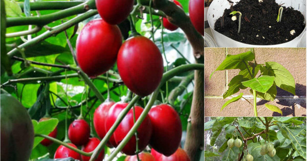 """Hướng dẫn cách trồng cà chua thân gỗ Tamarillo đang vô cùng """"hot"""" hiện nay"""
