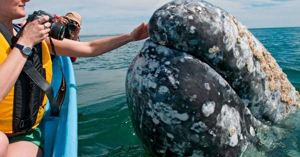 Hình ảnh cực lạ, cá voi khổng lồ ngoi lên mặt nước để được du khách vuốt ve