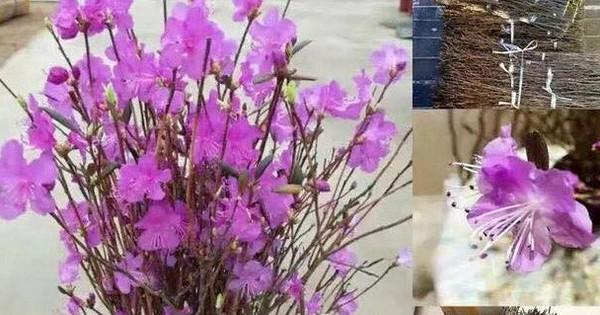 Chuyên gia lý giải sự thật về hoa đỗ quyên ngủ đông mà chị em đang sốt xình xịch mua để sắm Tết
