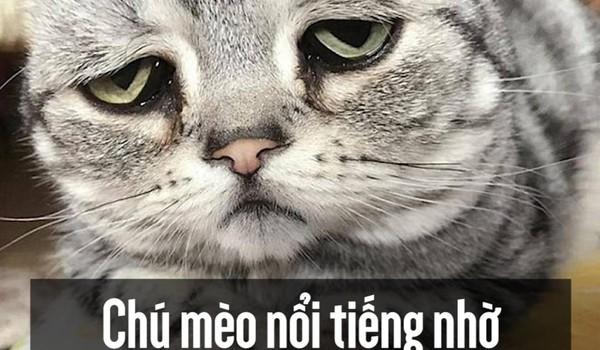 Chú mèo nổi tiếng nhờ vẻ mặt sầu đời nhất thế gian