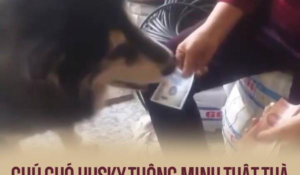 Chú chó husky thông minh thật thà, chỉ xin đúng 5k đi mua sữa chua