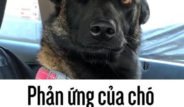 Phản ứng của chó khi biết mình sắp có em