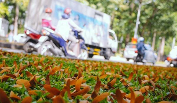 Sài Gòn đẹp ngỡ ngàng - Mùa trái dầu bay khiến hàng vạn người mê mẩn