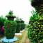 Độc đáo vườn quất kiểng dáng lộc bình cao tới 3 mét, giá chục triệu đồng phục vụ Tết Nguyên đán