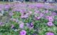 Chùm ảnh: Cánh đồng hoa lớn nhất Sài Gòn bắt đầu chớm nụ chào Tết, chủ vườn phải thuê cả chục người trông