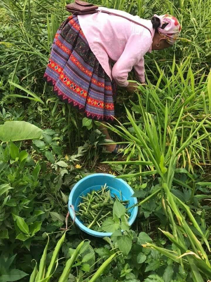 Rộ mùa hoa gừng Sơn La sốt sình sịch chợ mạng, tiểu thương ngày bán cả tạ - Ảnh 2.