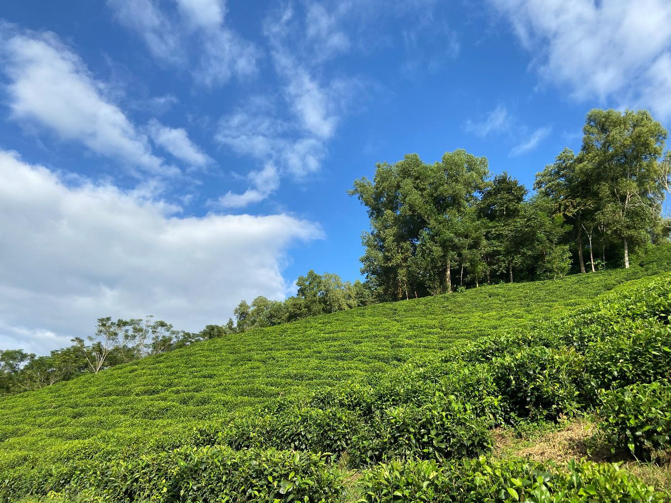 Thứ trà xanh làm từ cây chè sống nửa thế kỷ ở Thái Nguyên, giữ trọn hương vị truyền thống, ai uống cũng mê - Ảnh 2.