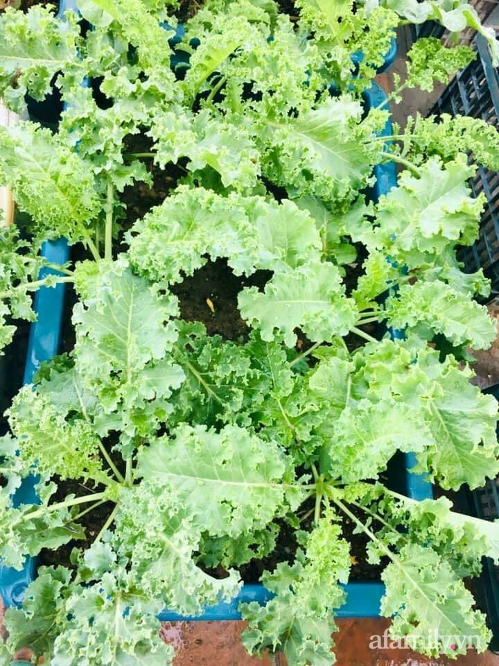 Cách trồng cải kale tốt tươi ngập tràn sân thượng của người phụ nữ đảm ở Quảng Ninh - Ảnh 18.