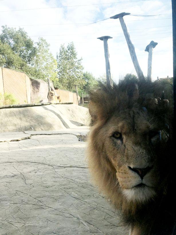 Bức ảnh bé trai đứng cạnh con sư tử hung tợn khiến ai nhìn vào cũng thót tim cho đến khi nghe câu chuyện xúc động của người mẹ - Ảnh 3.