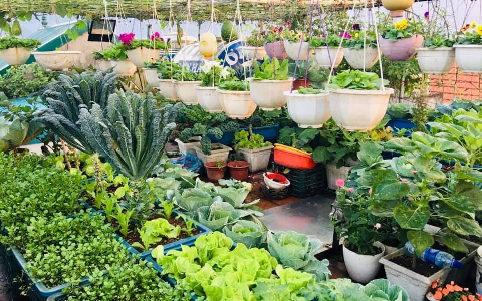 Cách trồng cải xoăn Kale tốt tươi ngập tràn sân thượng ở Quảng Ninh