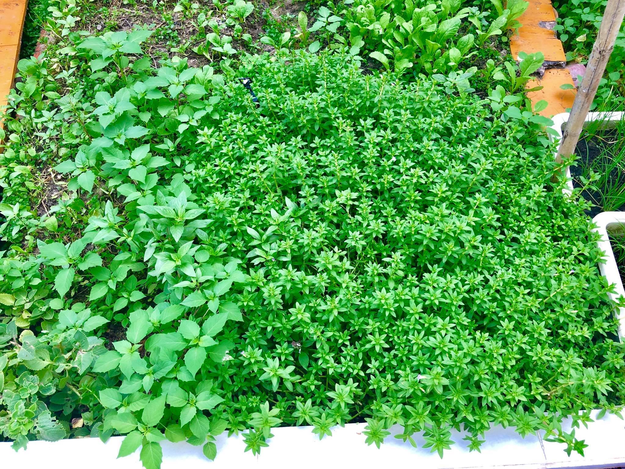 Ngắm vườn rau quả sạch tốt tươi, xanh mát trong biệt thự triệu đô của vợ chồng Thủy Tiên - Công Vinh - Ảnh 2.
