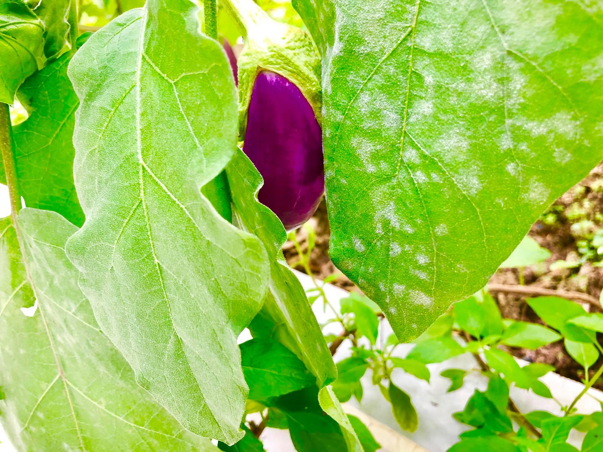 Ngắm vườn rau quả sạch tốt tươi, xanh mát trong biệt thự triệu đô của vợ chồng Thủy Tiên - Công Vinh - Ảnh 4.
