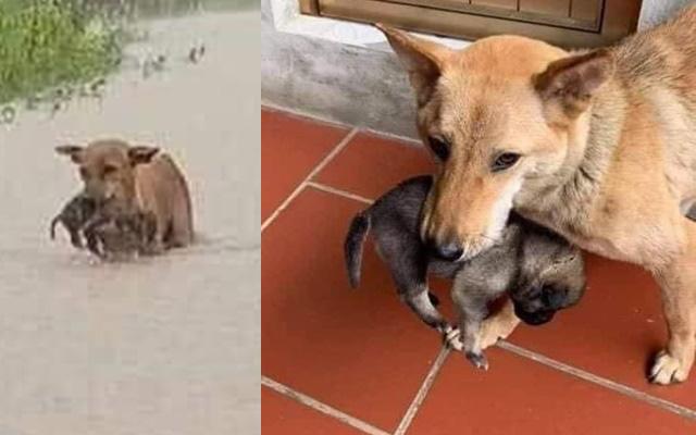 Chó mẹ tha con chạy lũ nổi tiếng khắp mạng xã hội đã được cứu, dân mạng vẫn rơi nước mắt vì vào đến bờ nó nhất quyết không nhả con, ánh mắt buồn vì chỉ giữ được 1 đứa