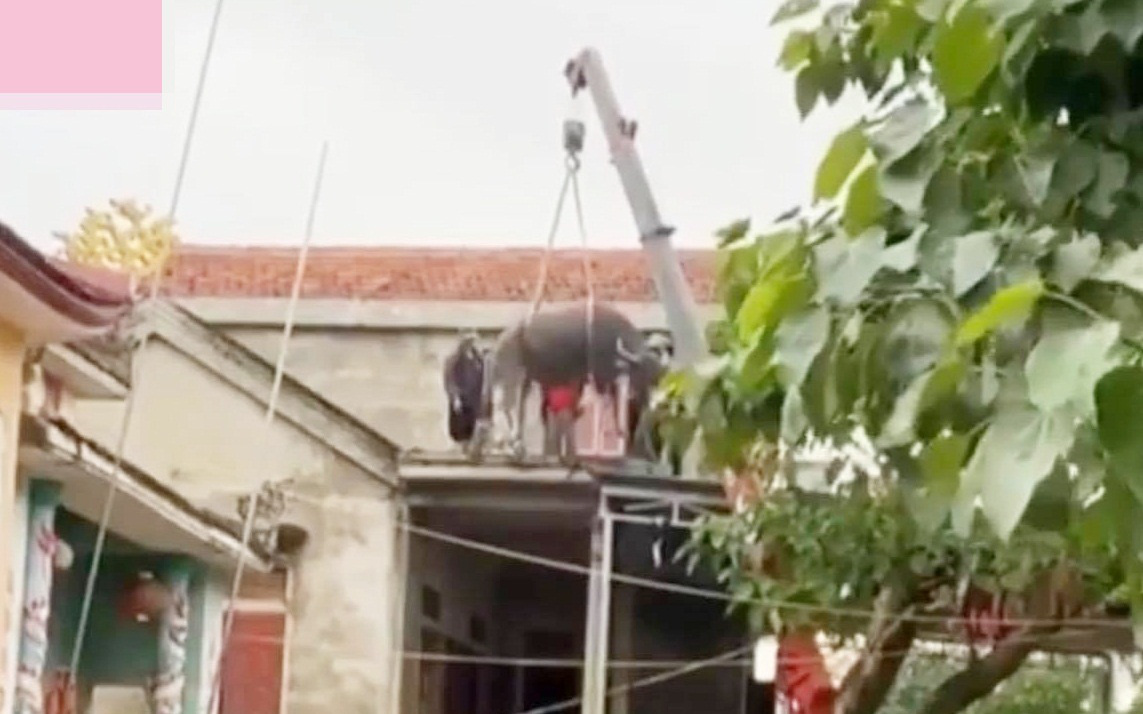 """Cập nhật tình hình đàn trâu miền Trung bất đắc dĩ phải bơi lên mái nhà vì lũ: Đã được đưa xuống nhờ pha giải cứu hết sức """"cồng kềnh"""""""