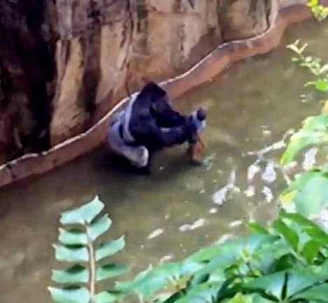 Bé trai 3 tuổi rơi vào chuồng khỉ đột và hành động của con vật khiến thế giới ngỡ ngàng, 20 năm sau chuyện tương tự xảy ra song kết cục ngược lại hoàn toàn - Ảnh 5.