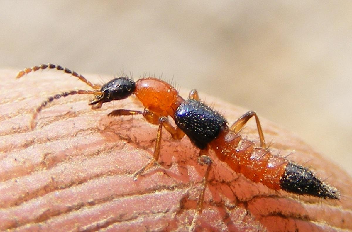 Cơ thể kiến ba khoang có chứa độc tính mạnh gấp 12-15 lần nọc rắn hổ mang: Nếu bị đốt, bác sĩ cảnh báo tuyệt đối KHÔNG xử trí bằng cách này mà ôm họa - Ảnh 1.