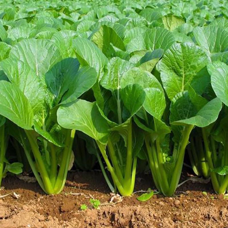 12 loại rau bạn nên trồng trong tháng 11 - Ảnh 5.