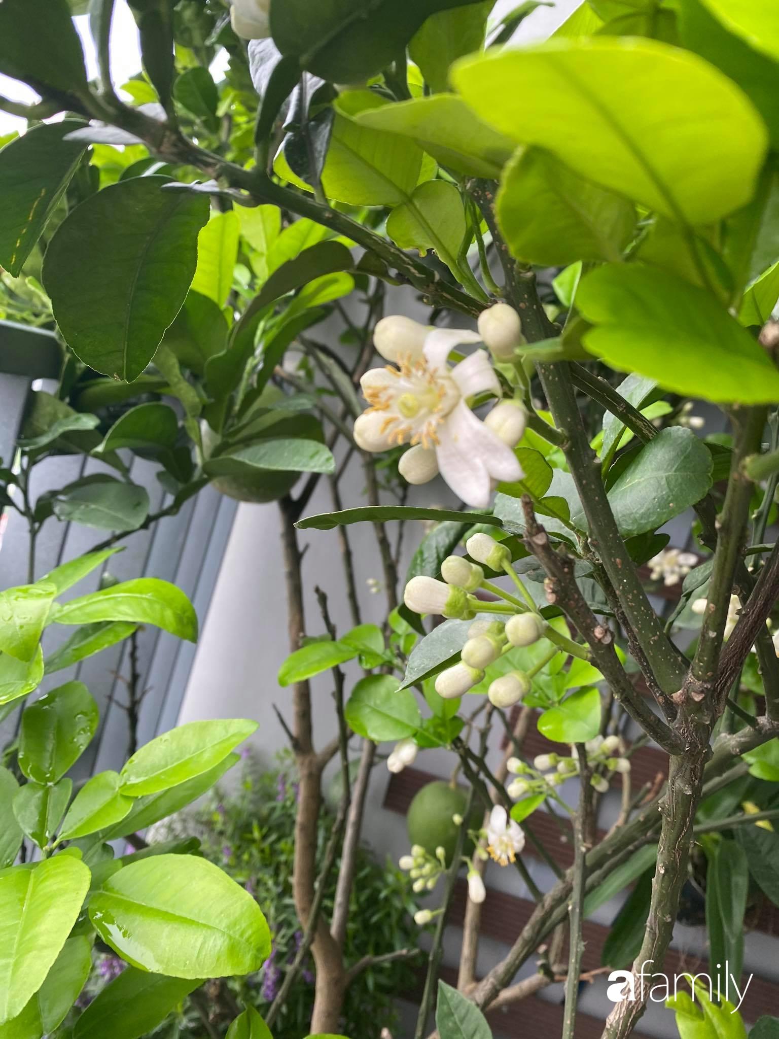 Ban công căn hộ thông tầng đẹp lãng mạn với cây và hoa ở Hà Nội - Ảnh 15.