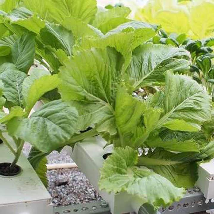 12 loại rau bạn nên trồng trong tháng 11 - Ảnh 3.