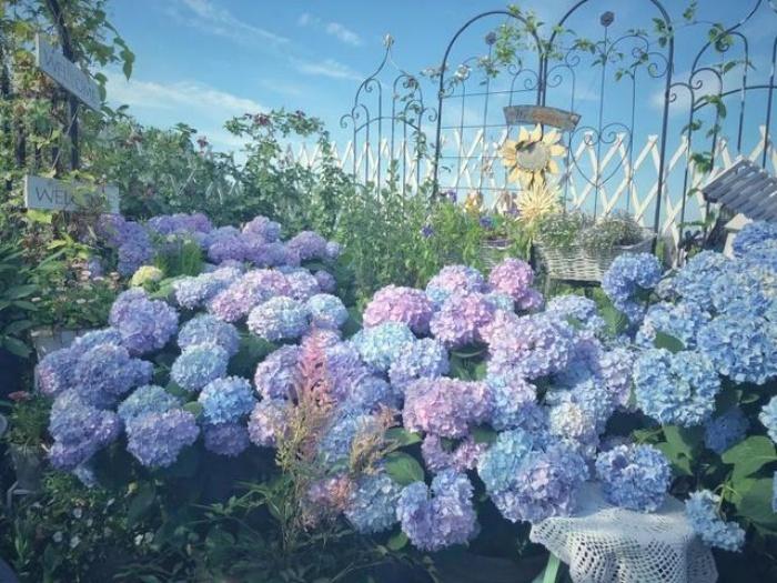 Ngất ngây ngắm nhìn vườn cẩm tú cầu rực rỡ khoe sắc trên sân thượng - Ảnh 3.