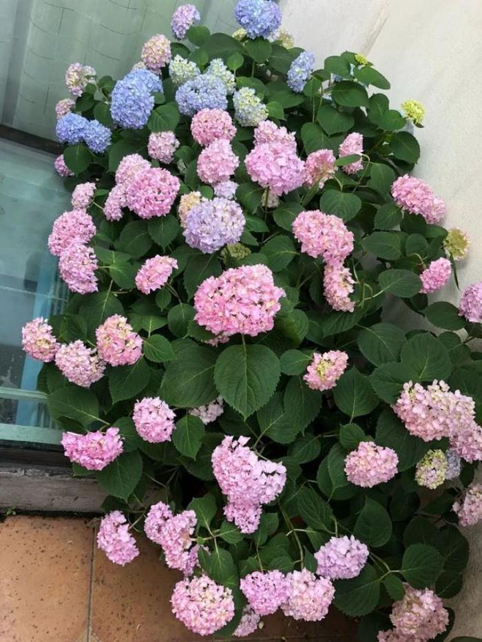 Ngất ngây ngắm nhìn vườn cẩm tú cầu rực rỡ khoe sắc trên sân thượng - Ảnh 8.