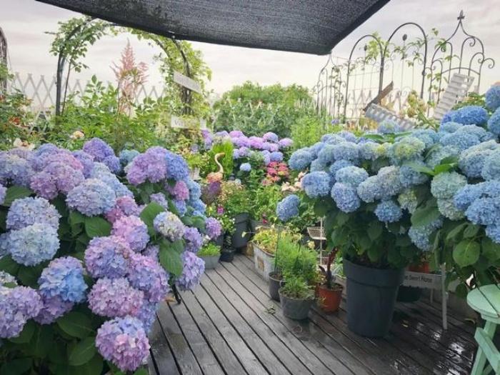 Ngất ngây ngắm nhìn vườn cẩm tú cầu rực rỡ khoe sắc trên sân thượng - Ảnh 7.