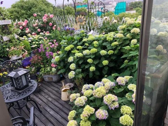 Ngất ngây ngắm nhìn vườn cẩm tú cầu rực rỡ khoe sắc trên sân thượng - Ảnh 1.