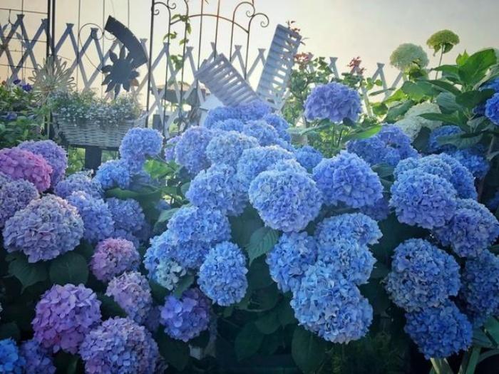 Ngất ngây ngắm nhìn vườn cẩm tú cầu rực rỡ khoe sắc trên sân thượng - Ảnh 4.