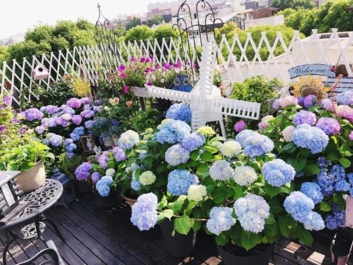 Ngất ngây ngắm nhìn vườn cẩm tú cầu rực rỡ khoe sắc trên sân thượng - Ảnh 2.