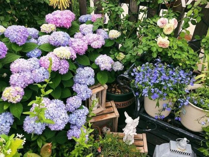 Ngất ngây ngắm nhìn vườn cẩm tú cầu rực rỡ khoe sắc trên sân thượng - Ảnh 5.
