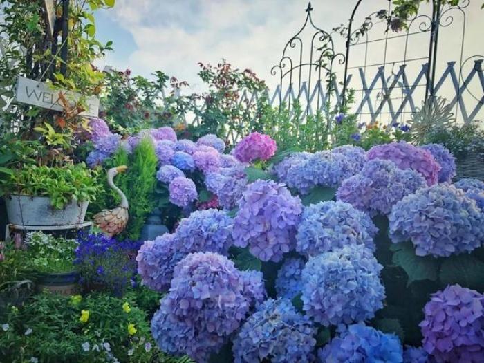 Ngất ngây ngắm nhìn vườn cẩm tú cầu rực rỡ khoe sắc trên sân thượng - Ảnh 13.