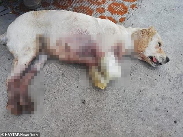 Sang nhà bên đuổi gà, chú chó bị hàng xóm bẻ gãy 2 chân nhưng hành động của chủ nhân con vật mới gây phẫn nộ tột cùng, cảnh sát phải vào cuộc điều tra - Ảnh 1.