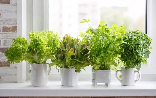 Điểm mặt gọi tên các loại thảo mộc thích hợp trồng trong nhà bếp cho chị em, vừa thanh lọc không khí vừa làm gia vị tiện lợi
