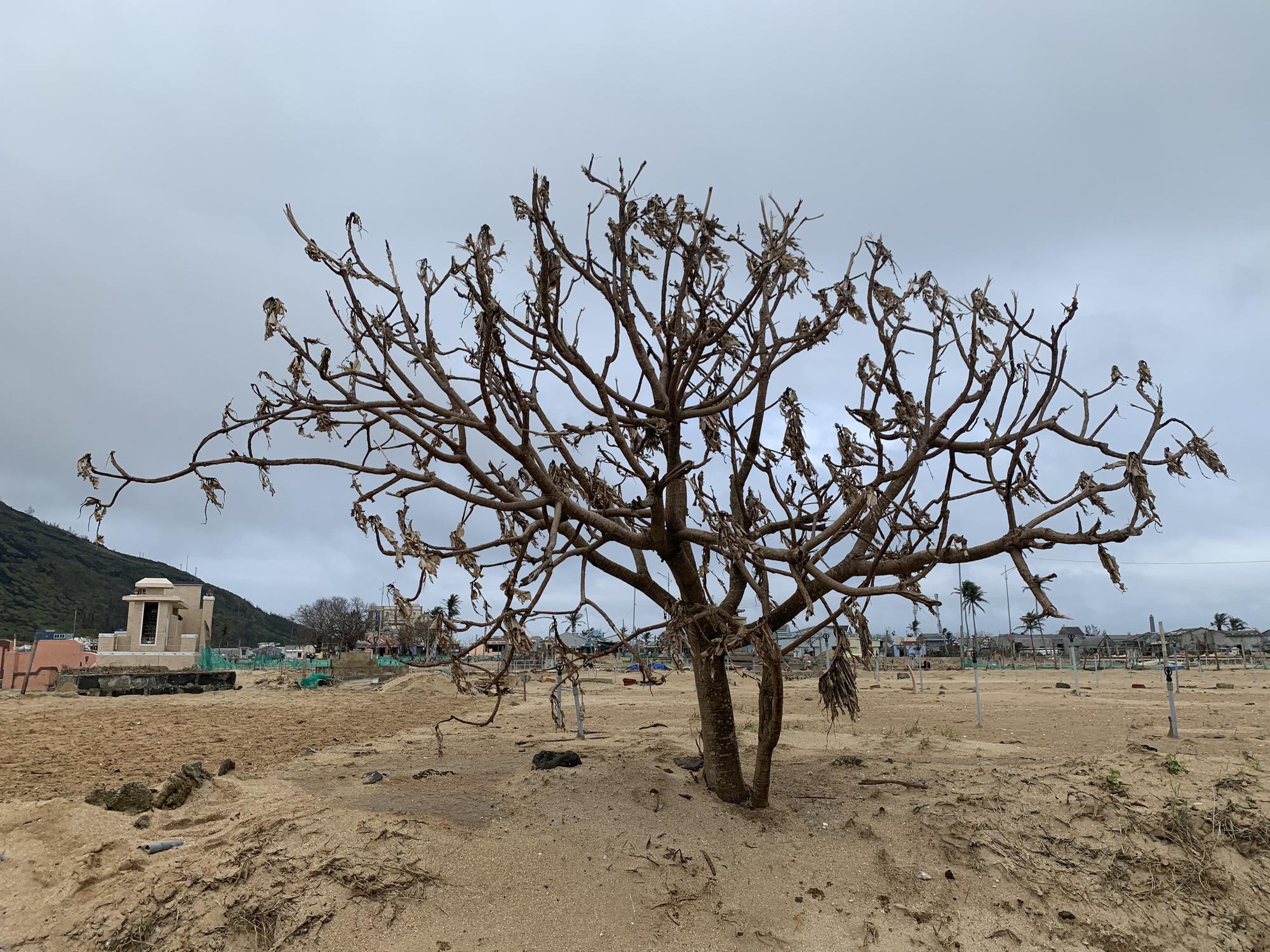Hàng chục ngàn cây xanh trên đảo Lý Sơn bị bão vặt trụi lá  - Ảnh 4.