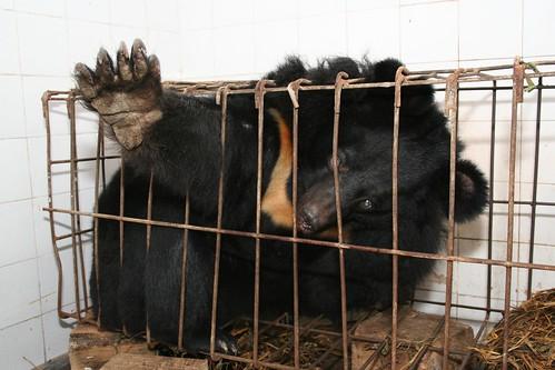 """Những màn tra tấn tàn ác từ ngành công nghiệp nuôi gấu lấy mật và sự thật """"lạnh người"""" khiến con người có thể phải trả giá đắt - Ảnh 3."""
