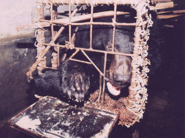 """Những màn tra tấn tàn ác từ ngành công nghiệp nuôi gấu lấy mật và sự thật """"lạnh người"""" khiến con người có thể phải trả giá đắt - Ảnh 4."""
