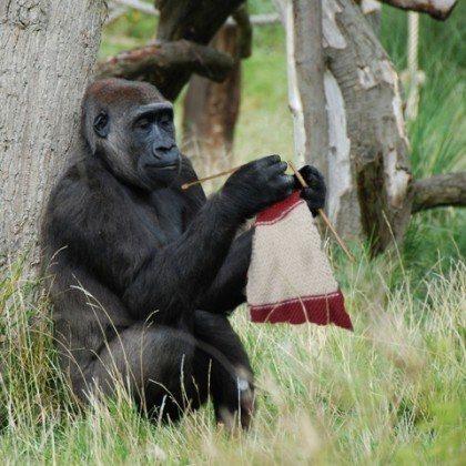 """Nhân viên sở thú bỏ quên cuộn len và kim chỉ trong chuồng khỉ đột, khi quay lại đã thấy con vật đan len khéo léo, khoảnh khắc khiến """"cõi mạng"""" dậy sóng - Ảnh 1."""