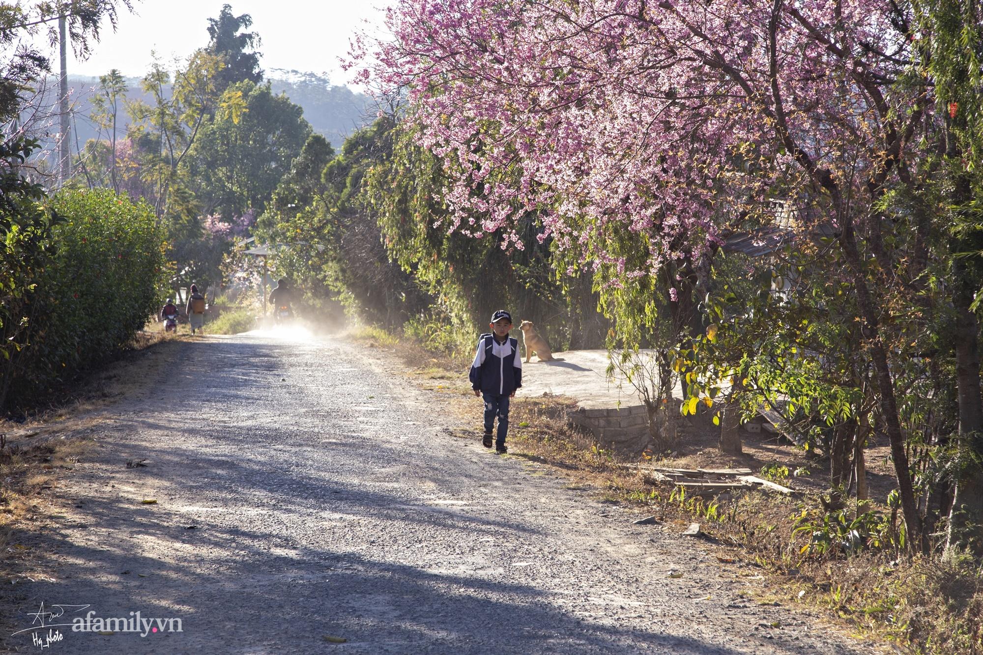 Ngắm hoa mai anh đào nở rợp trời ở ngôi làng đẹp lạ như Tây Tạng, nằm ngay gần trung tâm TP. Đà Lạt mà không phải ai cũng biết - Ảnh 17.