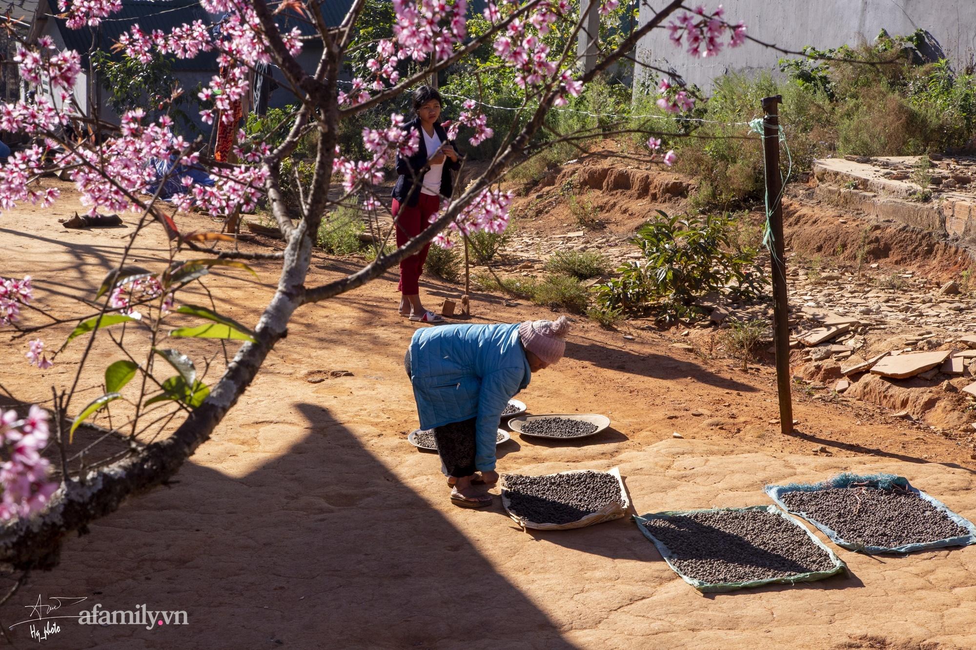 Ngắm hoa mai anh đào nở rợp trời ở ngôi làng đẹp lạ như Tây Tạng, nằm ngay gần trung tâm TP. Đà Lạt mà không phải ai cũng biết - Ảnh 10.